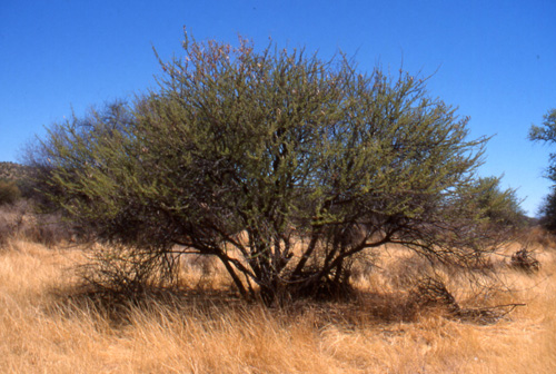 First 3 photos: Acacia hebeclada ssp. hebeclada near Toko Lodge, Namibia, January 2002l