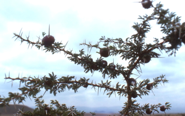 "Kenya 1975: Photos above showing ""galls"""