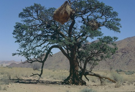 Majestic Acacia erioloba tree in Southern Namibia