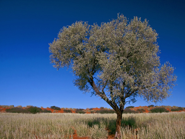 Acacia haematoxylon in the Kalahari. Copyright: Kirk West, South Africa, see:  http://www.kirkwestphotography.co.za/2010/acacia-haematoxylon-grey-camelthorn
