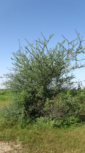 This picture was taken south of the S. senegal-plantation of the Rubber Research Institute of Nigeria, Gum-Arabic Sub-Station Gashua, December 7th, 2011; It shows Acacia laeta as grown naturally.