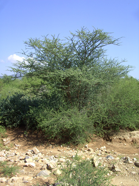 "2 photos: The guide had called this tree ""Hard needle Acacia"": It could be Vachellia horrida"