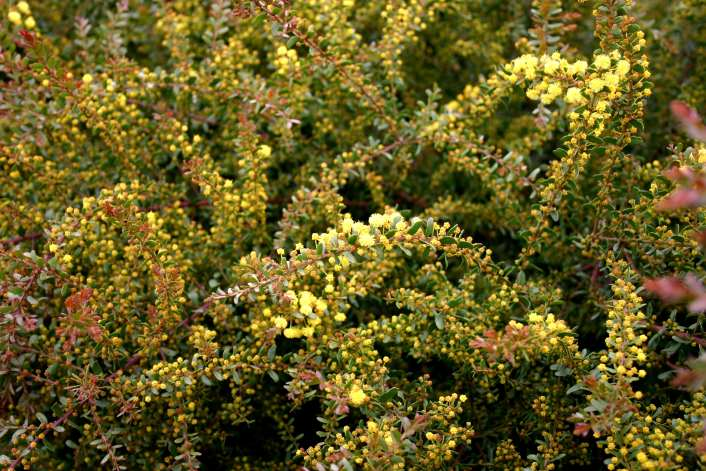 Acacia acinacea Ruby Tips[br]Royal Botanical Gardens Cranbourne, Victoria, 26.8.06