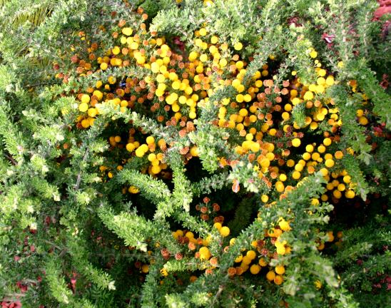 Garden of Esther Brueggemeier (Wild about Wattle), Bacchus Marsh, Victoria, 3.9.06