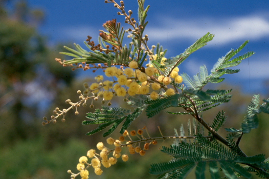 Photo from the picture CD of the Acacia Study Group of the Australian Plant Society
