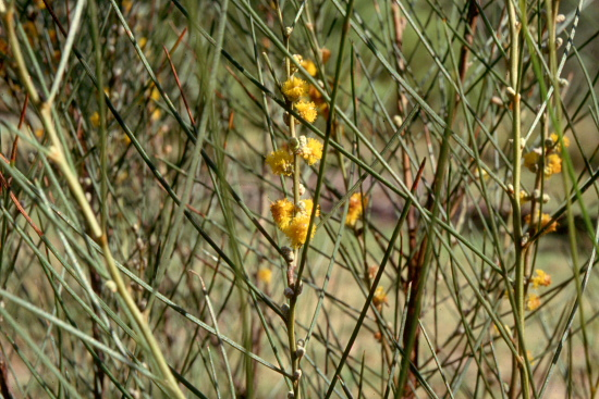 Photos from the picture CD of the Acacia Study Group of the Australian Plant Society