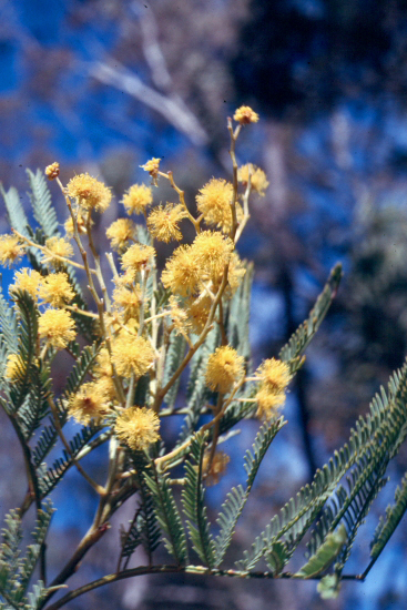 The third  Photo is from the picture CD of the Acacia Study Group of the Australian Plant Society