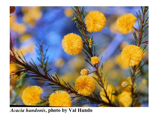 Photo from the Acacia study Group Newsletter 99, Dec. 2007[br] Acacia handonis is found only on one sandstone ridge in the Barakula Forestry on the Western Darling Downs.