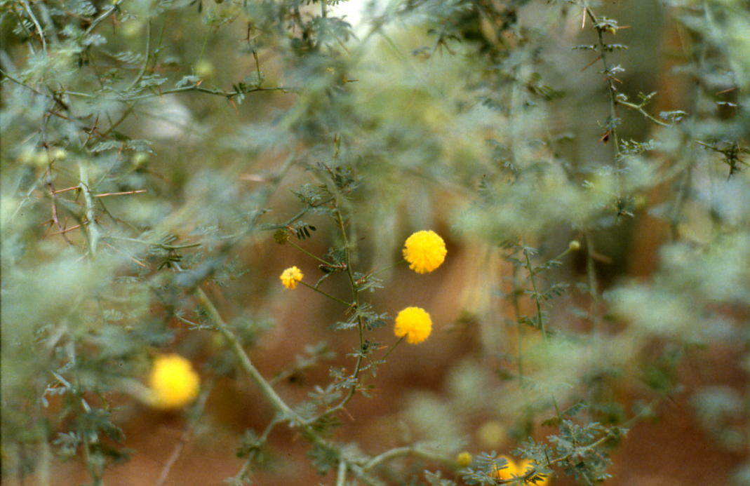 Acacia pulchella (Prickly Moses)  Greenhouse of the Bot.Garden Frankfurt, Germany February 1980 Copyright: Wolfgang Keidel