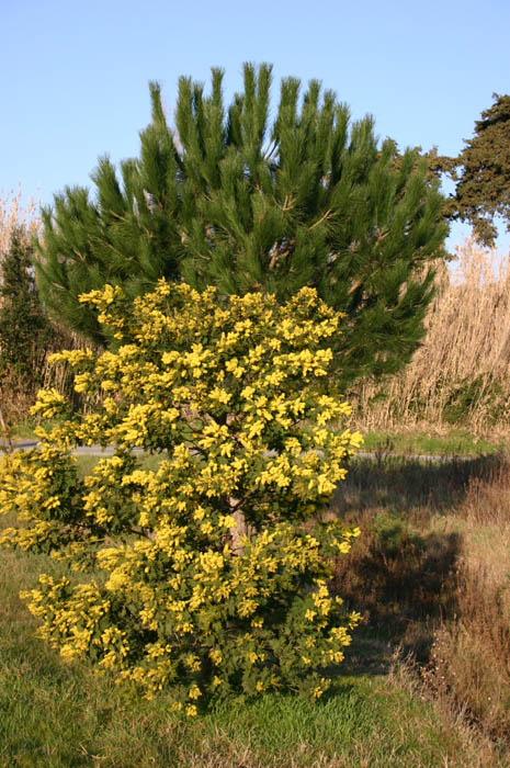 Acacia dealbata outside the Pepinieres Cavatore, Bormes-les-Mimosas, France, 9.2.05